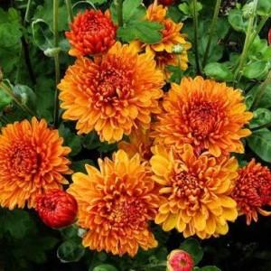 Саженец хризантемы Каштанка