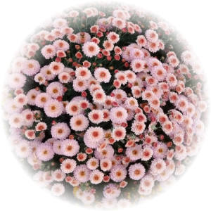 Саженец хризантемы КИНГ Пинк
