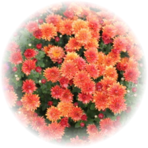 Саженец хризантемы КОНАКО