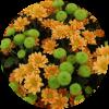 Саженец хризантемы Ламиа: фото и описание
