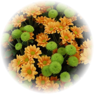 Саженец хризантемы ЛАМИА