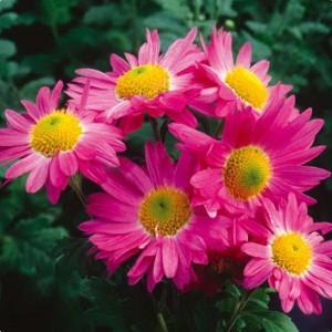 Саженец хризантемы Мальчиш - Кибальчиш (среднецветковая)