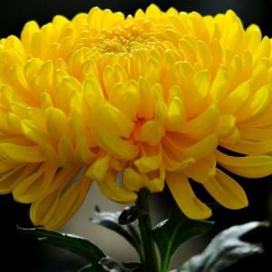 Саженец хризантемы Мираж крупноцветковая