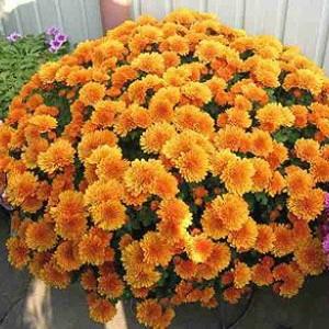 Саженец хризантемы Молфетта Оранж (мультифлора)