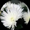 Саженец хризантемы Москва белая: фото и описание