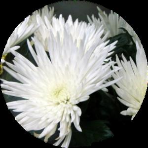 Саженец хризантемы Москва белая