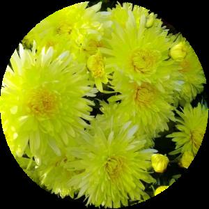 Саженец хризантемы Москва желтая