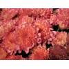 Саженец хризантемы мультифлора Абрикос: фото и описание