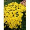 Саженец хризантемы мультифлора Brancrown №11: фото и описание