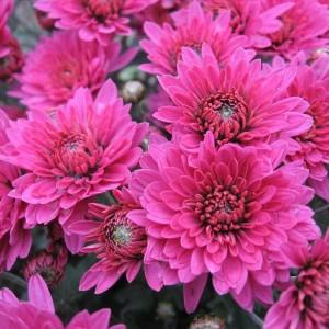 Саженец хризантемы (мультифлора) Brandrim