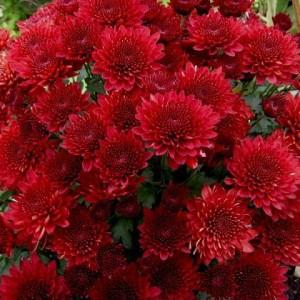 Саженец хризантемы мультифлора Branhill Red