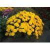 Саженец хризантемы мультифлора Branindio: фото и описание
