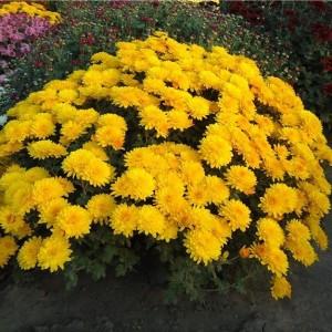 Саженец хризантемы мультифлора Branindio