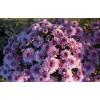 Саженец хризантемы мультифлора Bransound Purple: фото и описание