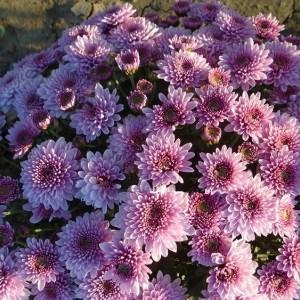 Саженец хризантемы мультифлора Bransound Purple