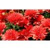 Саженец хризантемы (мультифлора) Майола: фото и описание