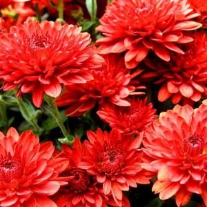 Саженец хризантемы (мультифлора) Майола