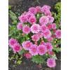 Саженец хризантемы мультифлора Nathalie purpur: фото и описание