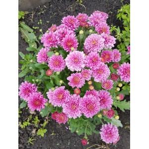 Саженец хризантемы (мультифлора) Nathalie purpur