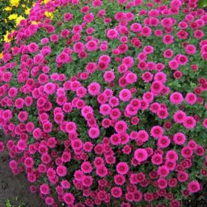 Саженец хризантемы (мультифлора) Проксима