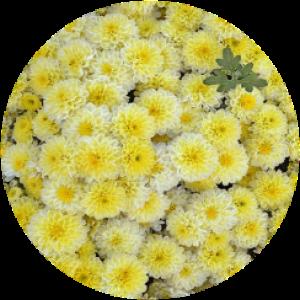 Саженец хризантемы Осса