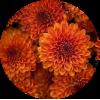 Саженец хризантемы Падре красный: фото и описание