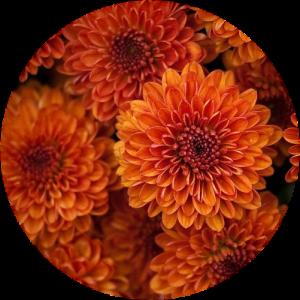 Саженец хризантемы Падре красный