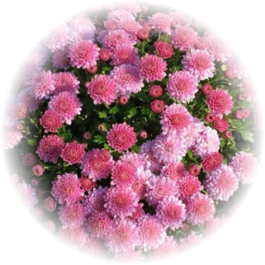 Саженец хризантемы Падре лилак