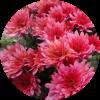 Саженец хризантемы мультифлора ПАН лилак: фото и описание