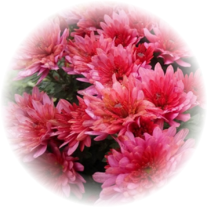 Саженец хризантемы ПАН лилак