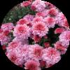 Саженец хризантемы ПАН Рот: фото и описание