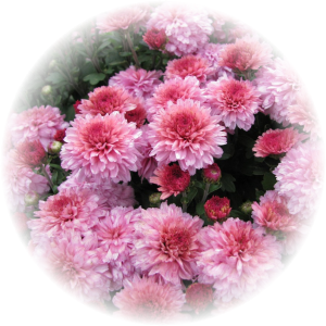 Саженец хризантемы ПАН Рот