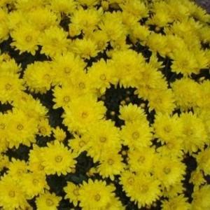 Саженец хризантемы Пауло Еллоу мультифлора