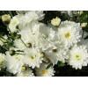 Саженец хризантемы Пауло Уайт (мультифлора): фото и описание
