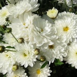 Саженец хризантемы Пауло Уайт (мультифлора)