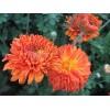 Саженец хризантемы Пектораль: фото и описание