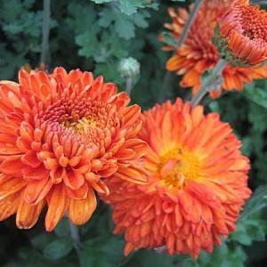 Саженец среднецветковой хризантемы Пектораль