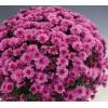 Саженец хризантемы мультифлора Розанна: фото и описание