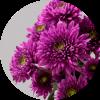 Саженец хризантемы мультифлора Сея Пурпур: фото и описание