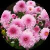 Саженец хризантемы Сея Роуз: фото и описание