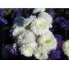 Саженец хризантемы Школьница крупноцветковая: фото и описание