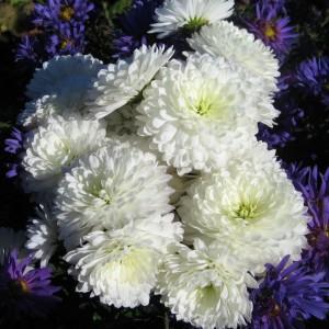 Саженец крупноцветковой хризантемы Школьница