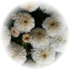Саженец хризантемы Скайла: фото и описание
