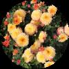 Саженец хризантемы Спейс: фото и описание