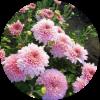 Саженец хризантемы Сунд Крем: фото и описание