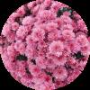 Саженец хризантемы мультифлора Сунд Маджента: фото и описание