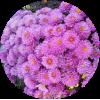 Саженец хризантемы Урсула ПИНК: фото и описание