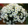 Саженец хризантемы мультифлора Верано Джей: фото и описание