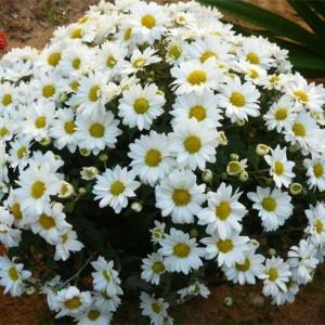 Саженец хризантемы Верано Джей (мультифлора)