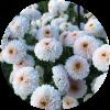 Саженец хризантемы ЯХО: фото и описание